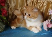 Кошка FUZZ BAND DEMETRA OF ELITA - Экзотическая (Exotic shorthair)